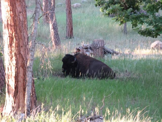 Black Hills National Forest buffalo