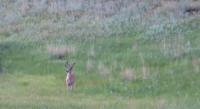 Black Hills National Forest deer