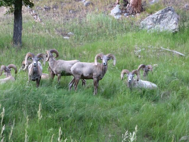 Black Hills National Forest elk