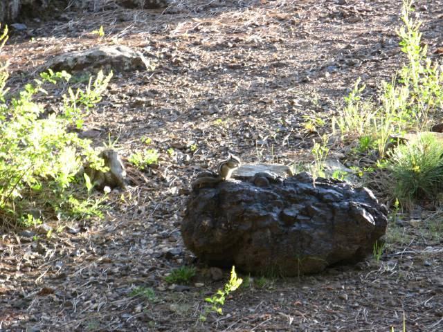 Black Hills National Forest squirrel on rock