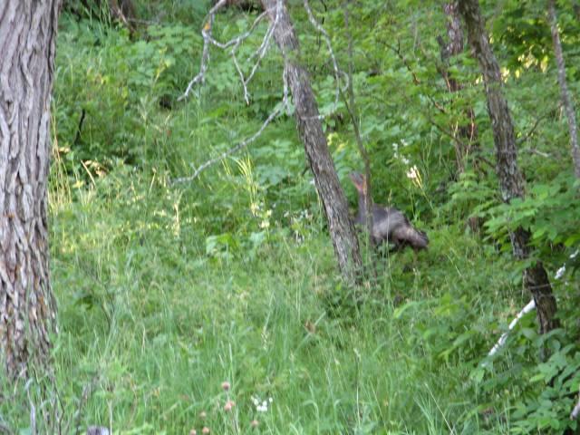 Black Hills National Forest turkey