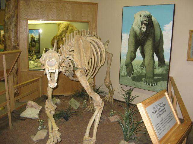 Skeleton of a giant short-faced black bear