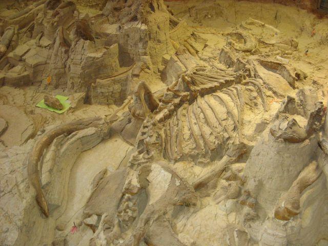 Mammoth fossils