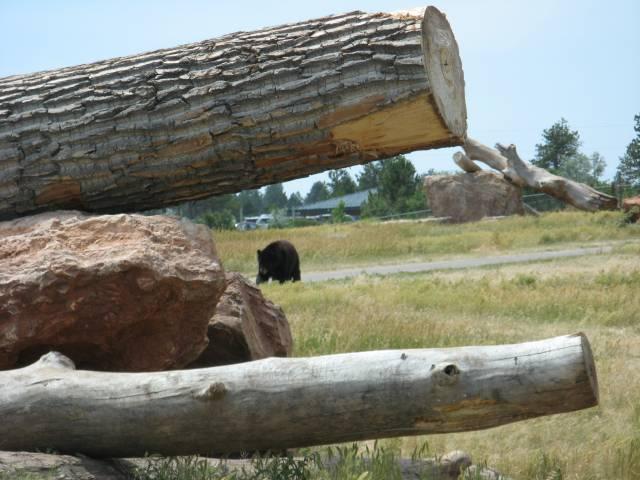 Bear ahead!