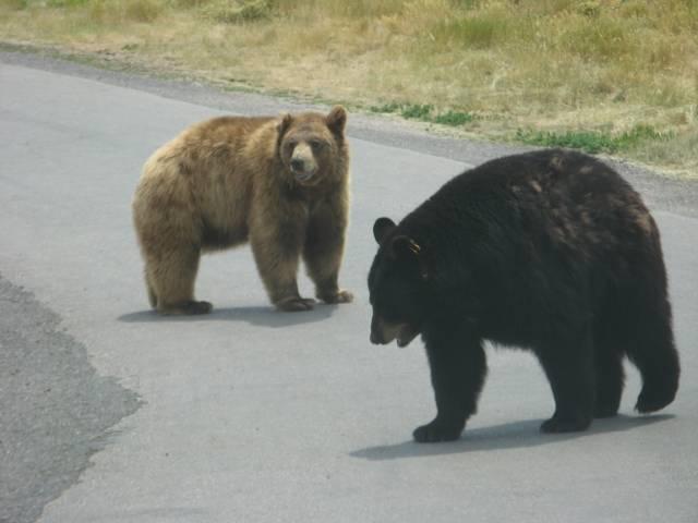 bears n