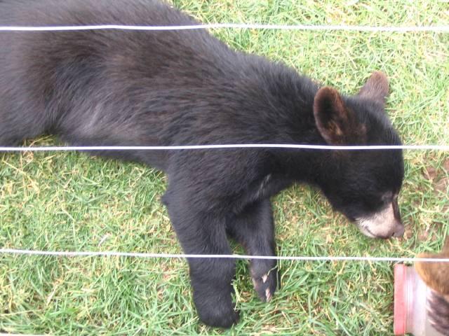 Bear cub sleeping