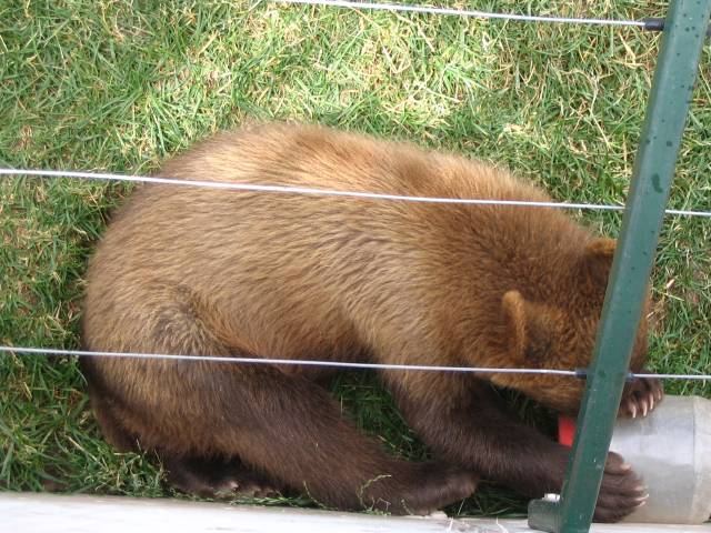 Bear cub chewing on plastic container