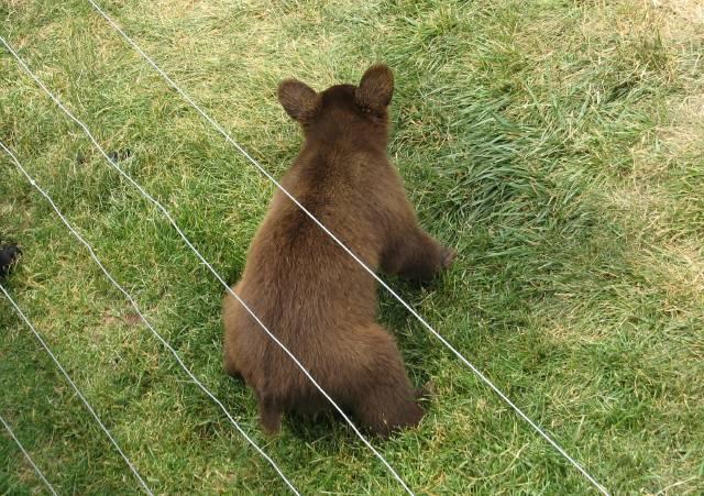 Bear cub peeing