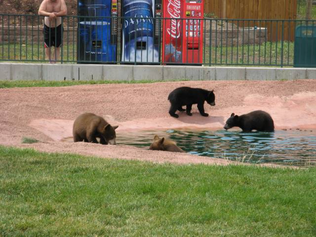 Bear cubs swimming
