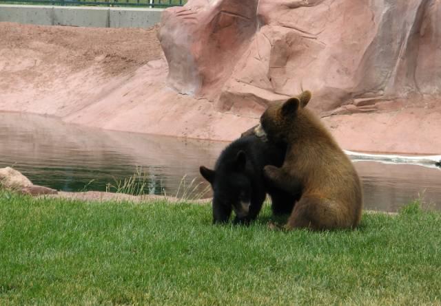 Bear cubs wrestling