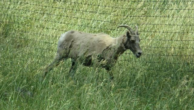 Ugly goat