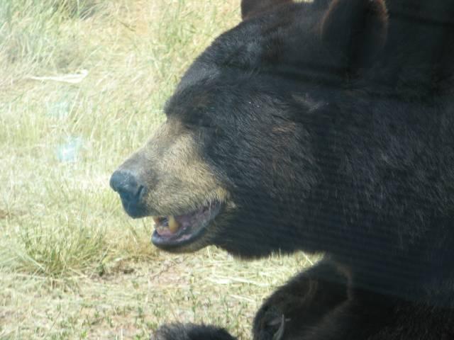 Bear by the car