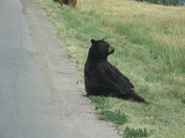 Bears sitting