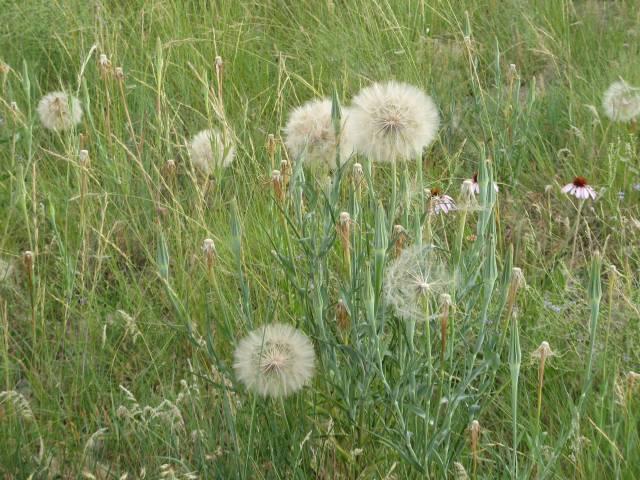 Little Bighorn Battlefield dandelions