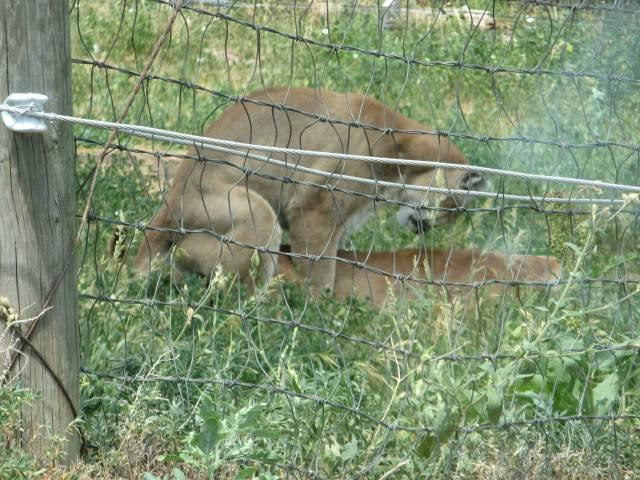 Mountain Lion Sex 118